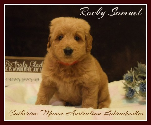 apricot labradoodle puppy